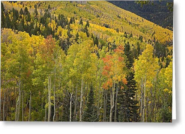 Santa Fe National Forest Greeting Cards - Quaking Aspen Trees In Autumn Santa Fe Greeting Card by Tim Fitzharris