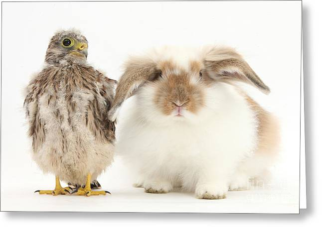 Falcon Greeting Cards - Rabbit And Kestrel Chick Greeting Card by Mark Taylor