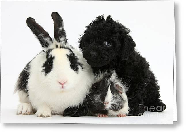 Toy Dog Greeting Cards - Rabbit, Puppy And Guinea Pig Greeting Card by Mark Taylor