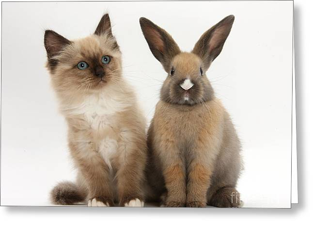 Domestic Pet Portraits.house Cat Greeting Cards - Ragdoll-cross Kitten And Young Rabbit Greeting Card by Mark Taylor