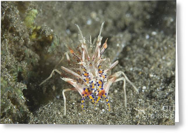 Kimbe Bay Greeting Cards - Rare Tiger Shrimp On Volcanic Sand Greeting Card by Steve Jones