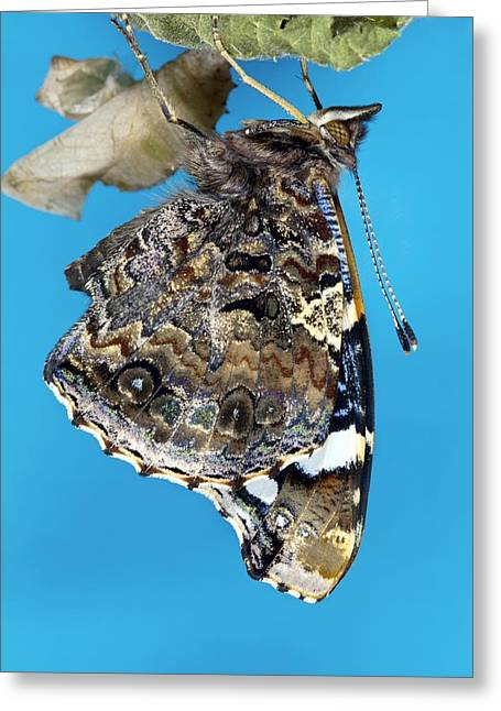 Cocoon Greeting Cards - Red Admiral Butterfly Greeting Card by Dr Keith Wheeler