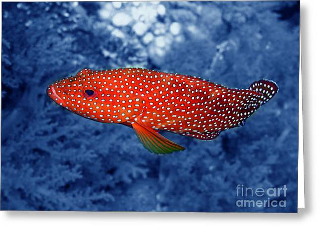 Water Grouper Print Greeting Cards - Red Coral Cod Greeting Card by Serena Bowles
