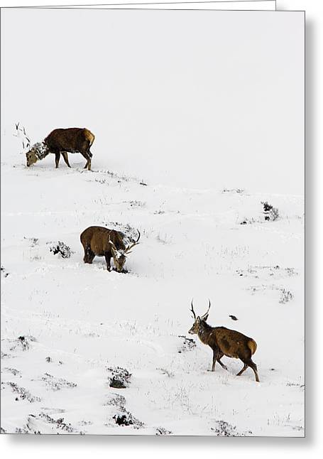 Quartet Greeting Cards - Red Deer Stags Greeting Card by Duncan Shaw