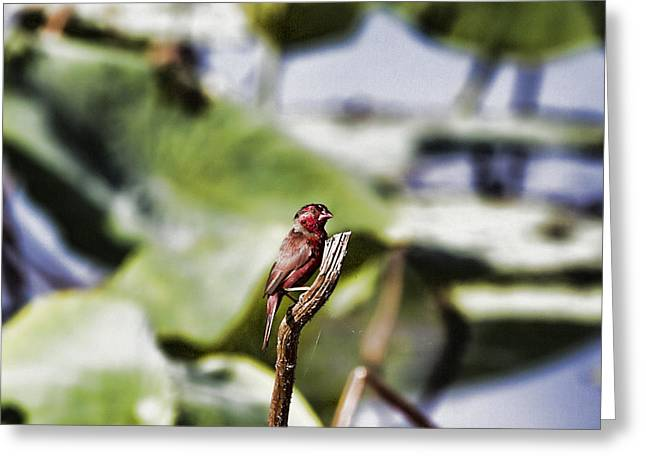 Fogg Greeting Cards - Red Faced Greeting Card by Douglas Barnard