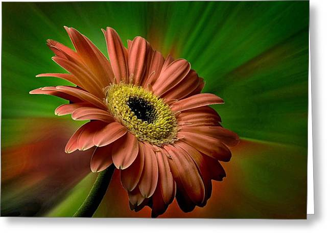 Muted Pyrography Greeting Cards - Red Gerber Daisy Greeting Card by Bob Mulligan