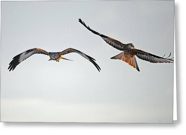 red Kites. Greeting Card by Andrew Chittock