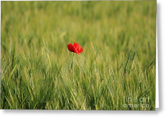 Photo Gifts Greeting Cards - Red Poppy in field  Greeting Card by Pixel  Chimp