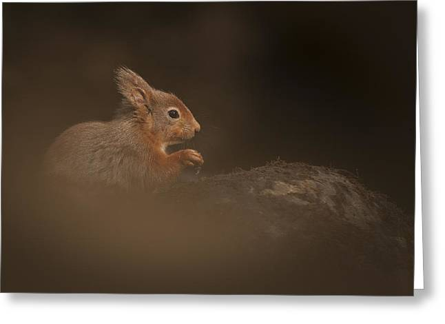 Red Squirrel Greeting Cards - Red Squirrel Greeting Card by Andy Astbury