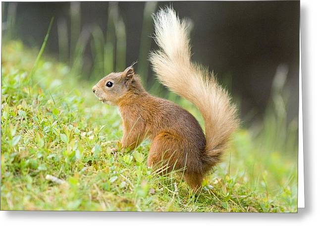 Forest Floor Greeting Cards - Red Squirrel Feeding Greeting Card by Duncan Shaw
