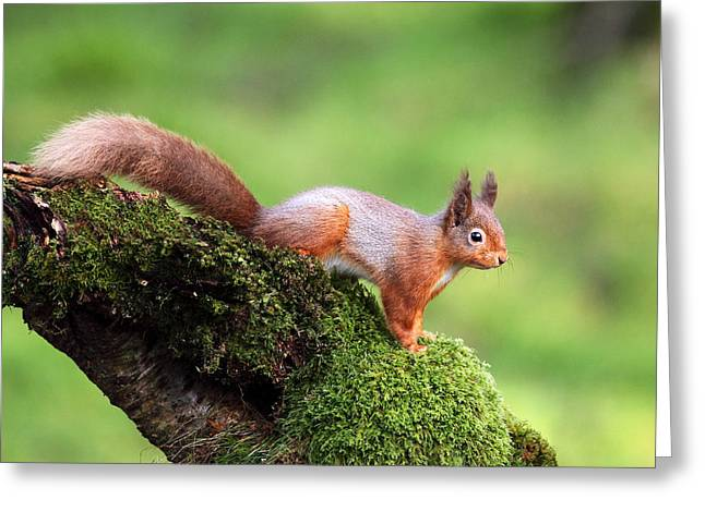 Red Squirrel Greeting Cards - Red Squirrel Greeting Card by Grant Glendinning