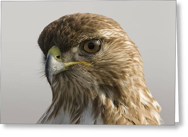 Hawk Creek Greeting Cards - Red Tailed Hawk Juvenile Stevens Creek Greeting Card by Sebastian Kennerknecht