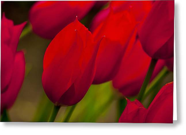 Spring Bulbs Greeting Cards - Red Tulips in Holland Greeting Card by Bronze Riser