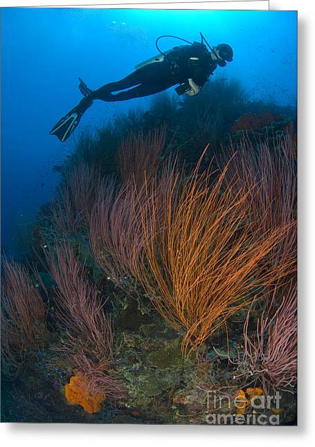 New Britain Greeting Cards - Red Whip Fan Coral With Diver, Papua Greeting Card by Steve Jones