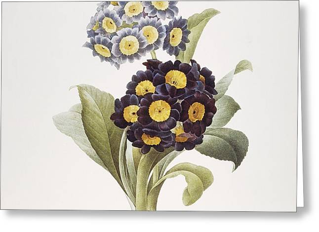 REDOUTE: AURICULA, 1833 Greeting Card by Granger
