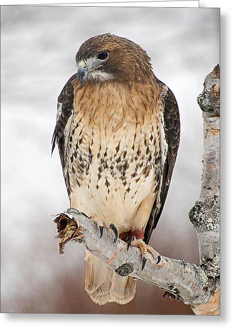 Cheryl Cencich Greeting Cards - Redtail hawk Greeting Card by Cheryl Cencich