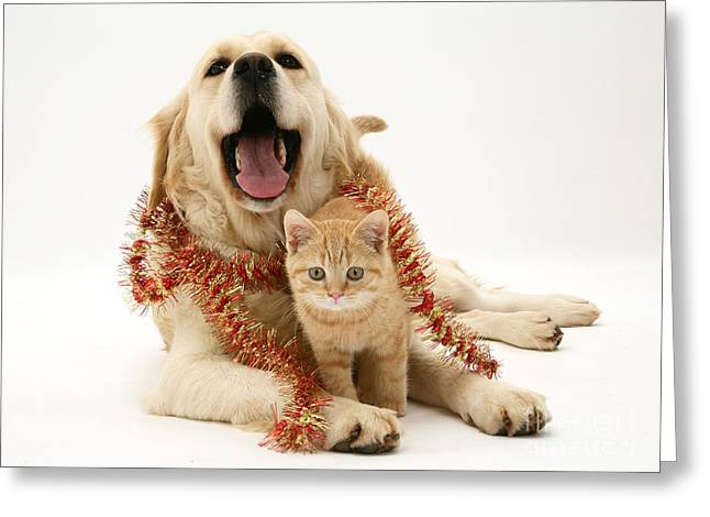 Bred Greeting Cards - Retriever And Kitten Greeting Card by Jane Burton