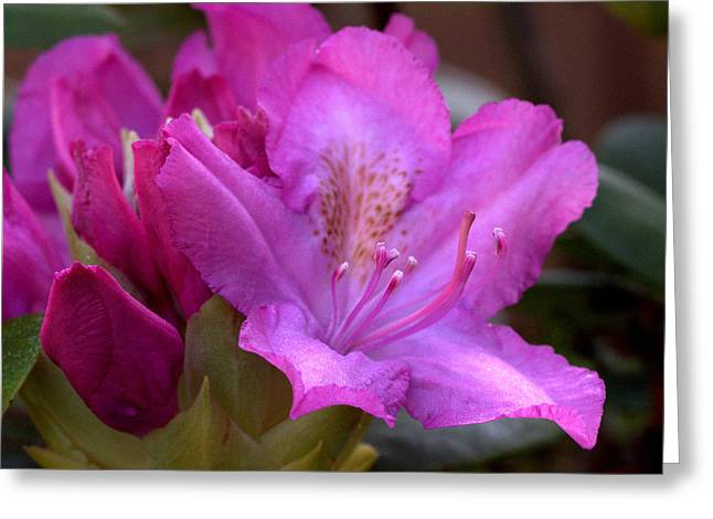 Rhodendron Greeting Cards - Rhododendron Bloom Greeting Card by Mel Hensley