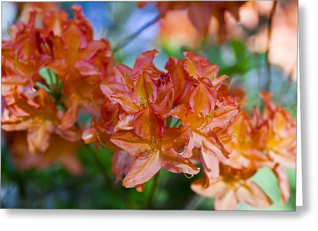 Flower Blossom Photographs Greeting Cards - Rhododendron flowers Greeting Card by Frank Tschakert