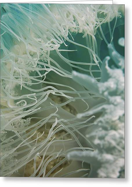 Aquatic Greeting Cards - Rhopilema Nomadica Jellyfish Greeting Card by Photostock-israel
