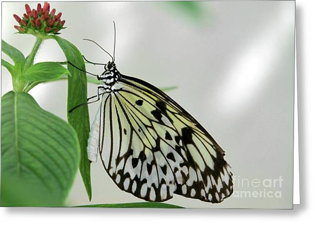 Butterfly In Flight Greeting Cards - Rice Paper Butterfly Greeting Card by Sabrina L Ryan