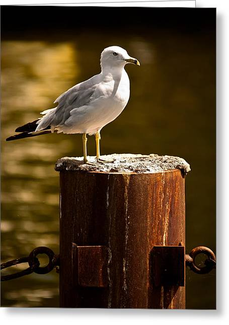 Ring-billed Gull Greeting Cards - Ring-billed gull on Pillar Greeting Card by  Onyonet  Photo Studios