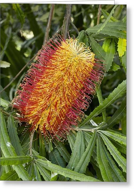 Proteaceae Greeting Cards - River Banksia (banksia Seminuda) Greeting Card by Bob Gibbons