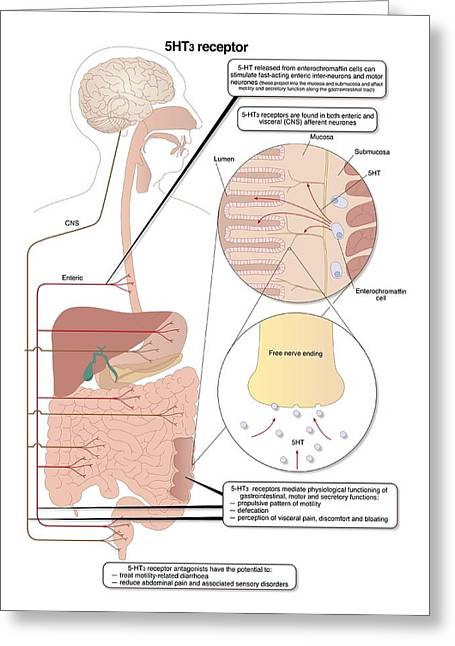Serotonin Greeting Cards - Role Of Serotonin In The Digestive System Greeting Card by Peter Gardiner