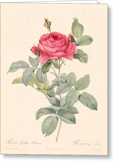 Roses In Bud Greeting Cards - Rosa Gallica Pontiana Greeting Card by Pierre Joseph Redoute