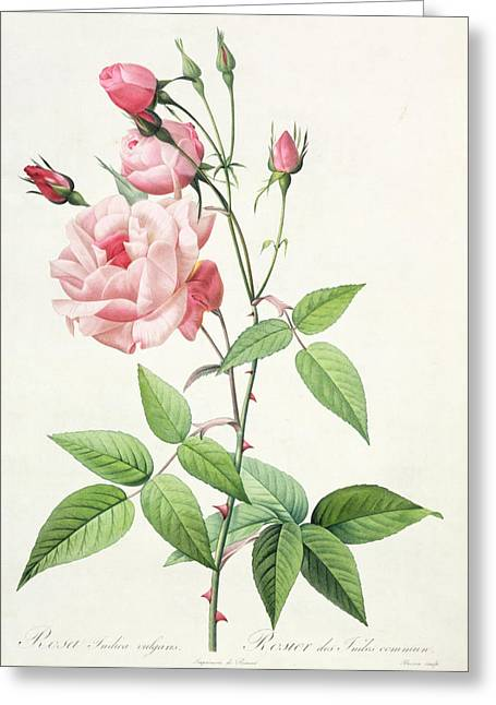 Stalked Greeting Cards - Rosa Indica Vulgaris Greeting Card by Pierre Joseph Redoute