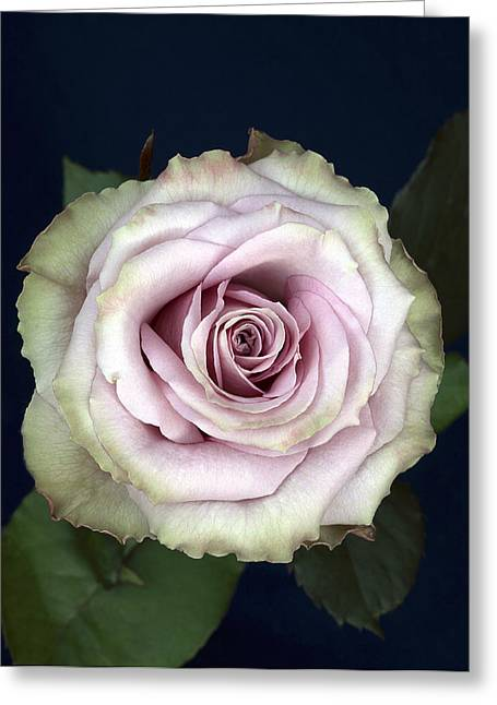 Rosa Sp. Greeting Cards - Rose Flower (rosa Sp.) Greeting Card by Linda Wright