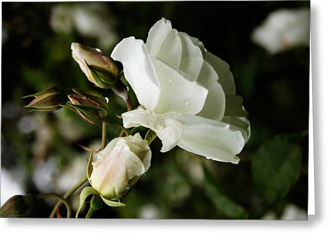 White Rose Greeting Card by Masha Batkova