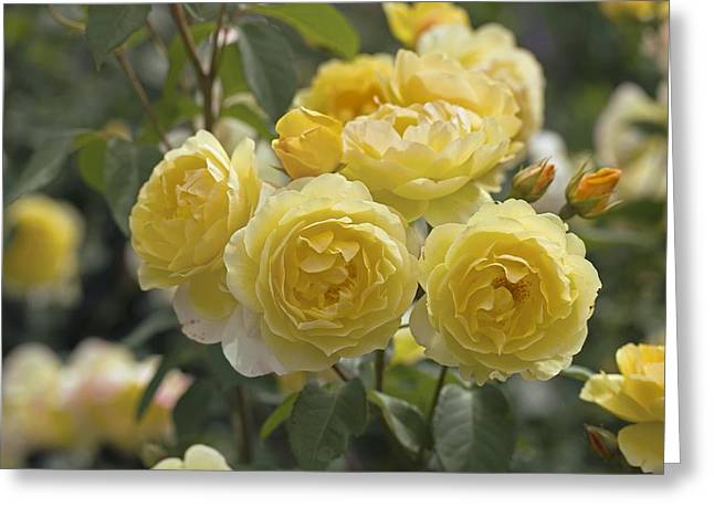 Charlotte Photographs Greeting Cards - Rose (rosa charlotte Auspoly) Greeting Card by Dr Keith Wheeler