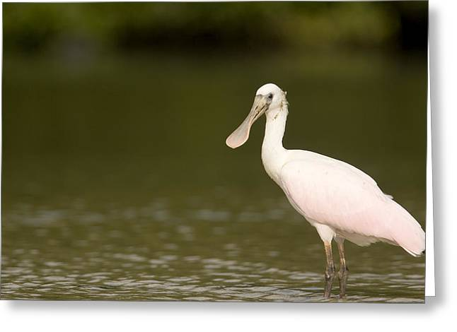 Recently Sold -  - Mangrove Forest Greeting Cards - Roseate Spoonbill Ajaia Ajaja Greeting Card by Tim Laman