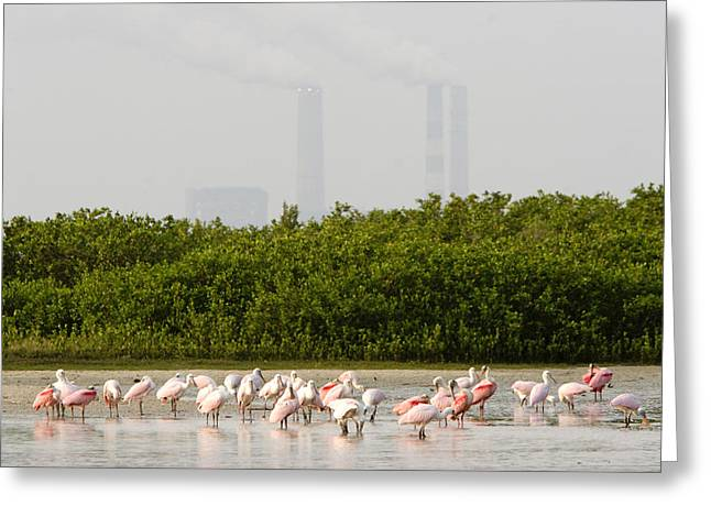 Recently Sold -  - Mangrove Forest Greeting Cards - Roseate Spoonbills Ajaia Ajaja Feed Greeting Card by Tim Laman