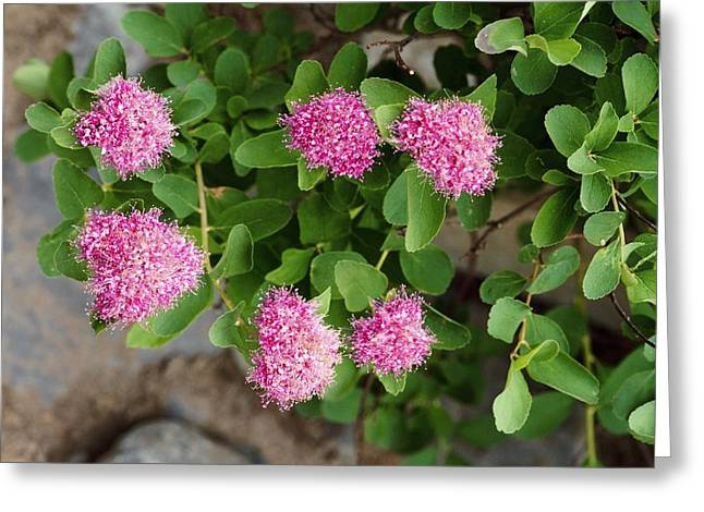Spirea Greeting Cards - Rosy Spirea (spiraea Splendens) Greeting Card by Bob Gibbons