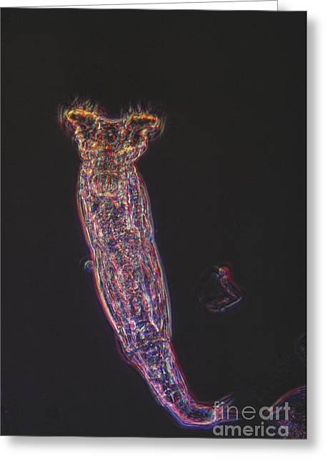 Plankton Greeting Cards - Rotifer Lm Greeting Card by Eric V. Grave