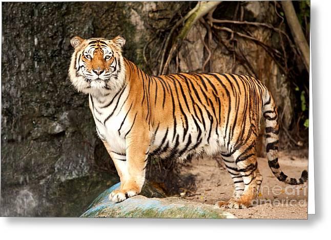 Royal Bengal Tiger Greeting Card by Anek Suwannaphoom