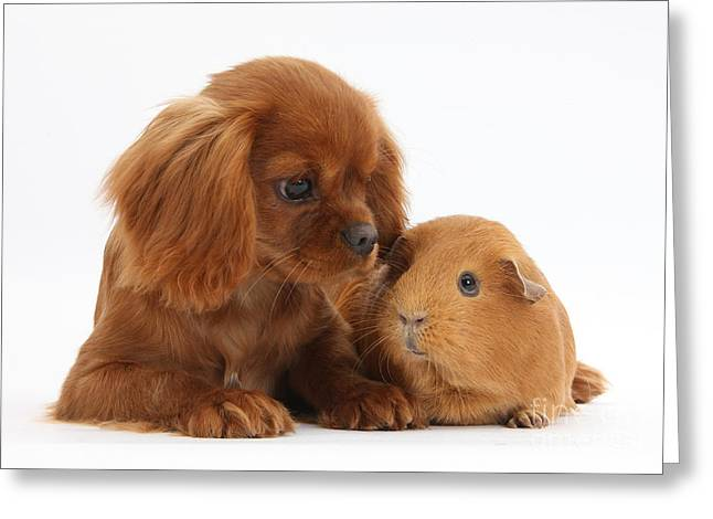 Cavy Greeting Cards - Ruby Cavalier King Charles Spaniel Pup Greeting Card by Mark Taylor