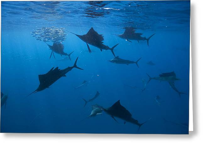 Best Sellers -  - Cooperation Greeting Cards - Sailfish Drive Their Prey Greeting Card by Paul Nicklen