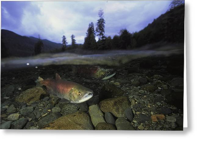 Salmon, Clayoquot Sound, Vancouver Greeting Card by Joel Sartore
