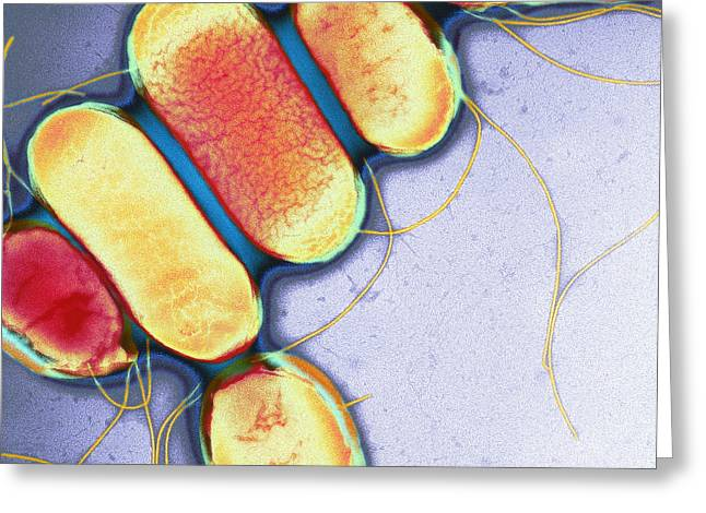 Salmonella, Tem Greeting Card by Henrik Chart, Centre For Infectionshealth Protection Agency