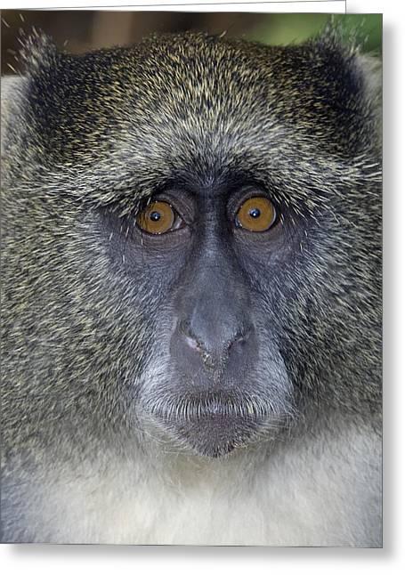 Gray Hair Greeting Cards - Samango Monkey Greeting Card by Tony Camacho