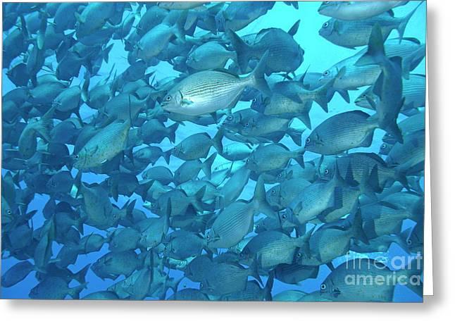 School Of Cortez Sea Chub Fishes Greeting Card by Sami Sarkis