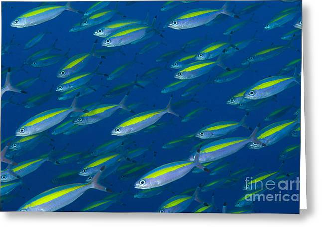 Fusilier Fish Greeting Cards - School Of Wide-band Fusilier Fish Greeting Card by Steve Jones
