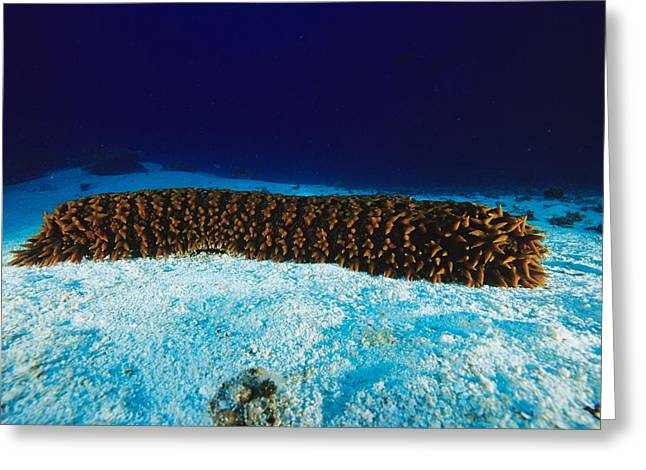 Knobbly Greeting Cards - Sea Cucumber Greeting Card by Alexis Rosenfeld