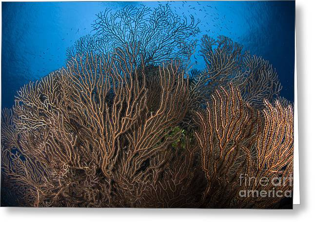 Sea Fan Greeting Cards - Sea Fan Seascape, Belize Greeting Card by Todd Winner