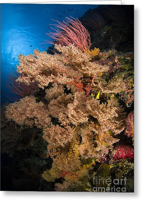 Cnidaria Greeting Cards - Sea Fans And Sea Whips, Australia Greeting Card by Todd Winner
