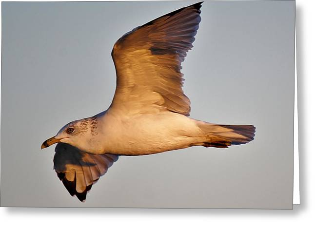 Sea Gull At Twilight Greeting Card by Paulette Thomas