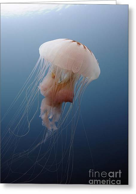 Blue Jellyfish Greeting Cards - Sea Nettle Jellyfish In Atlantic Ocean Greeting Card by Karen Doody
